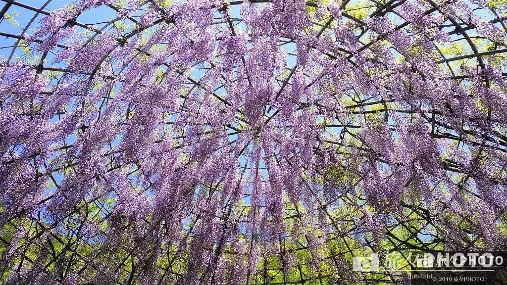河内藤園-藤のドーム