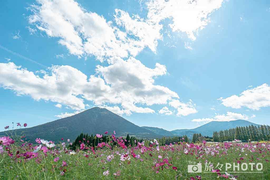 生駒高原コスモス霧島連山