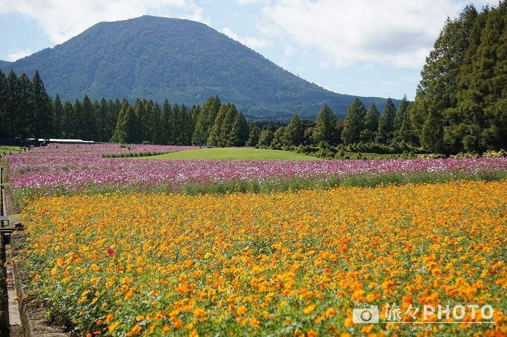 生駒高原コスモス