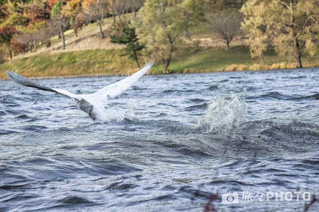 志高湖の白鳥