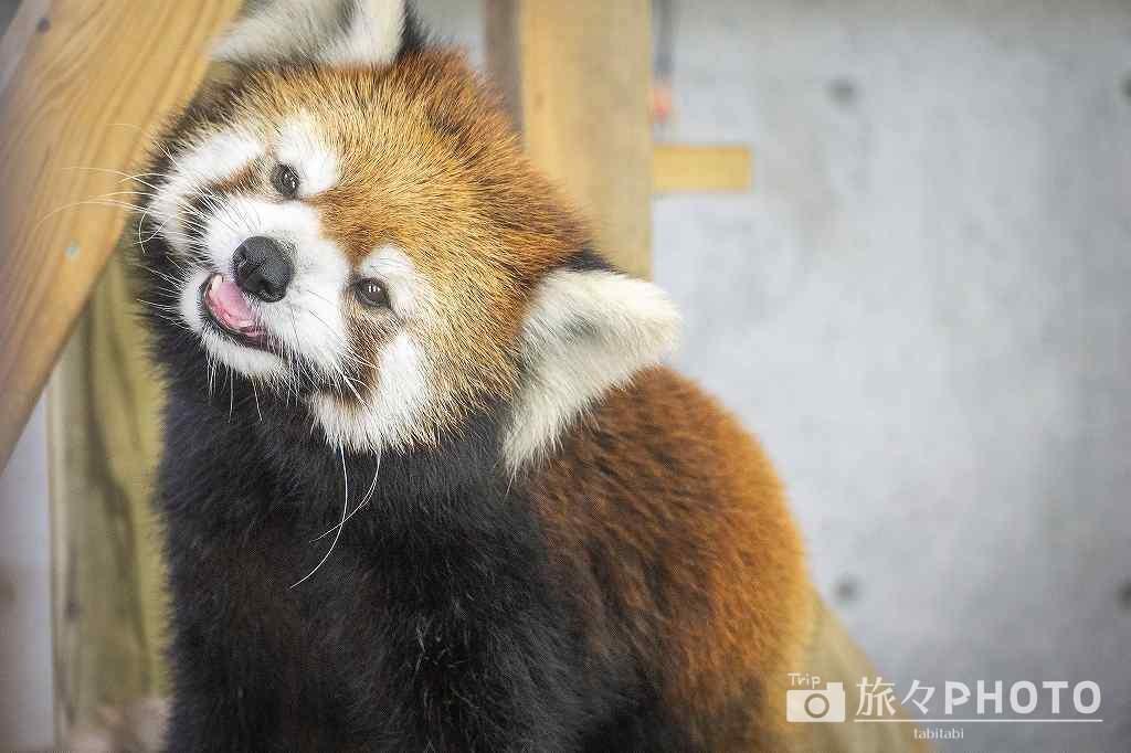 到津の森公園レッサーパンダ