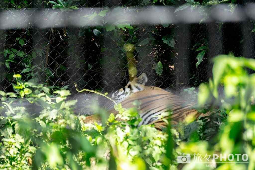 到津の森公園トラ