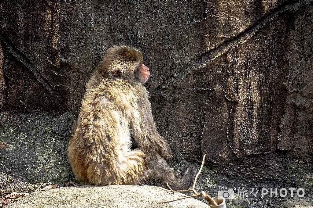 到津の森公園ニホンザル