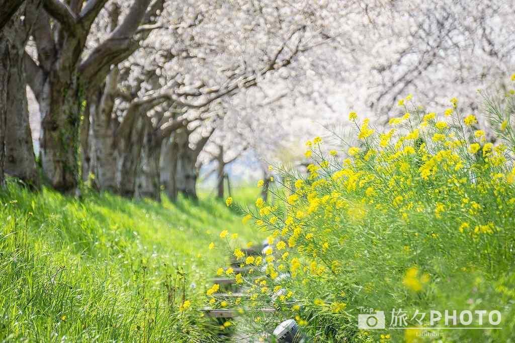 草場川の桜並木に咲く菜の花