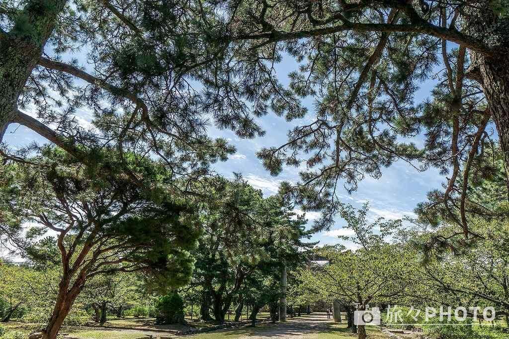 萩城跡の松