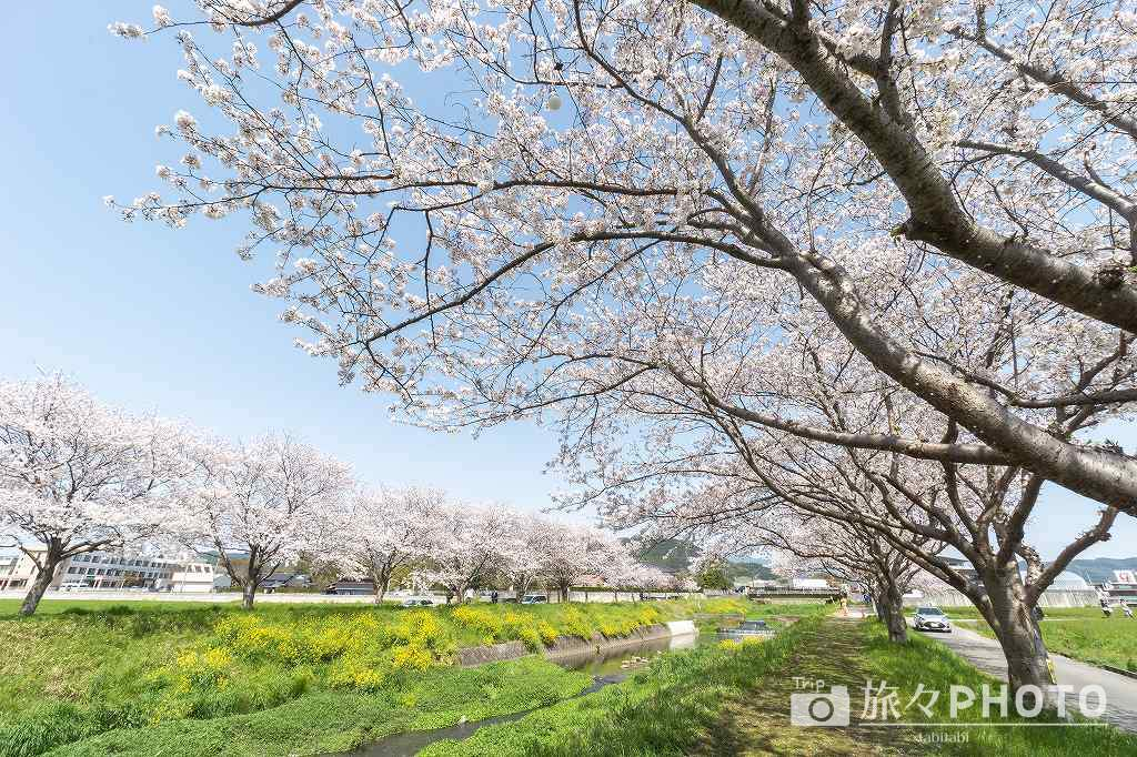 草場川の桜並木