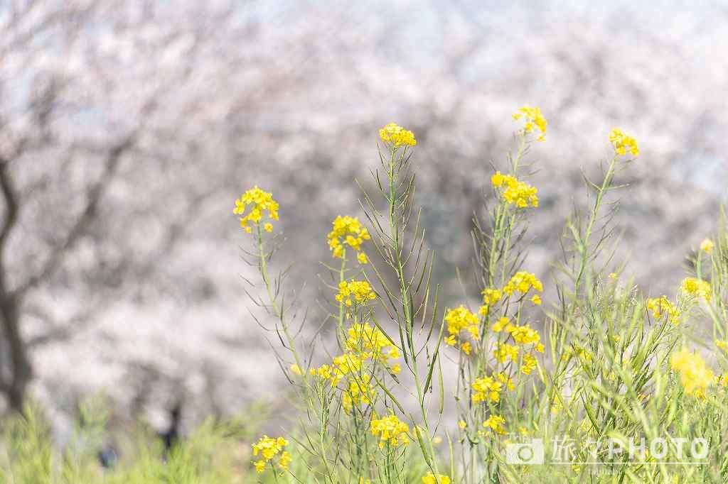 草場川の桜並木の菜の花