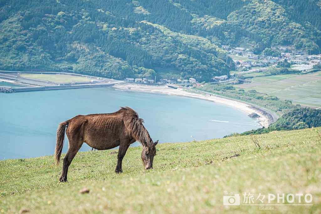都井岬の小松ヶ丘の御崎馬