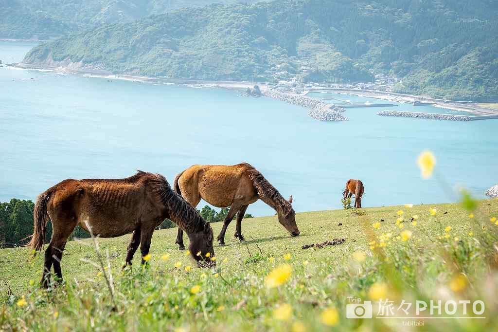 都井岬の小松ヶ丘にいる御崎馬