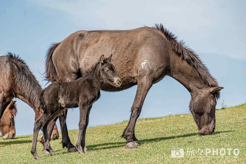 都井岬の春駒(仔馬)