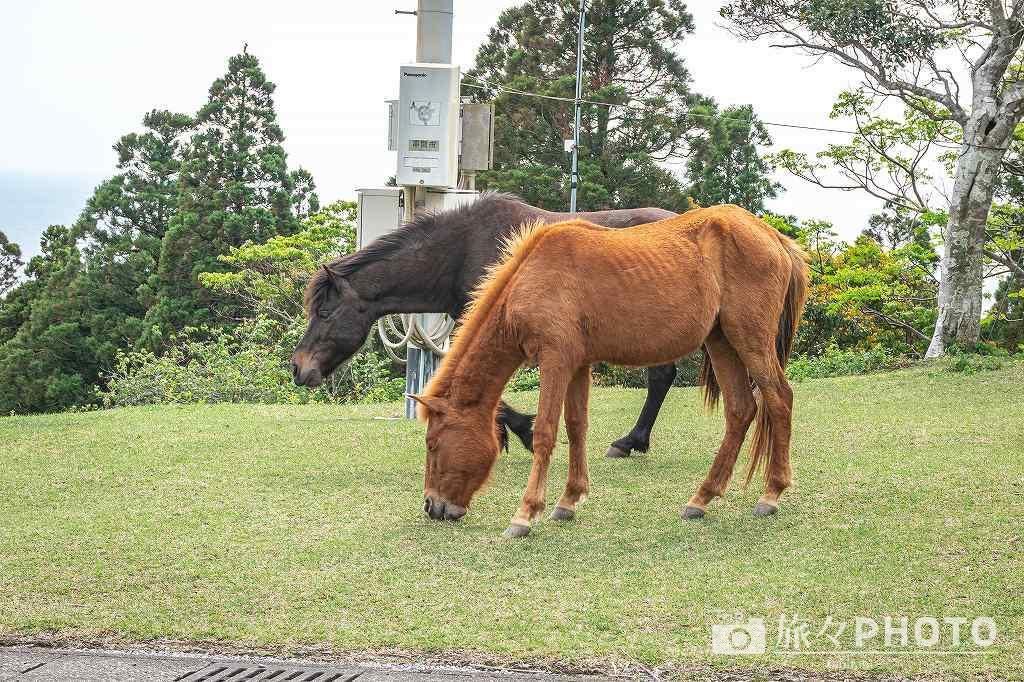 都井岬観光交流館PAKALAPAKA(パカラパカ)前に来た御崎馬
