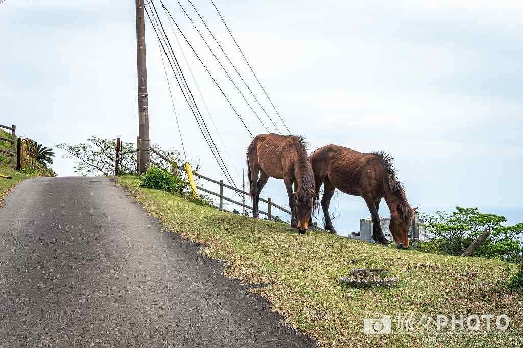 都井岬の扇山の御崎馬
