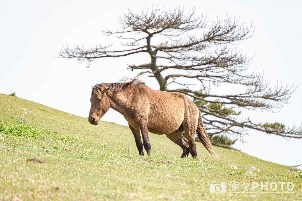 都井岬の小松ヶ丘にいる寝ている御崎馬