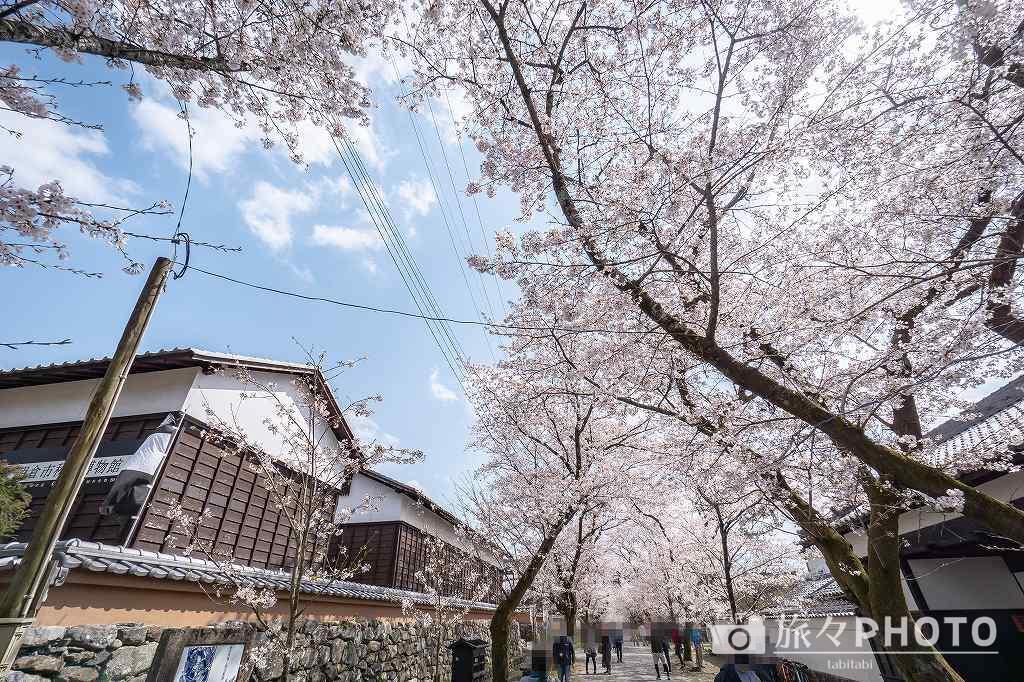 秋月城跡の桜