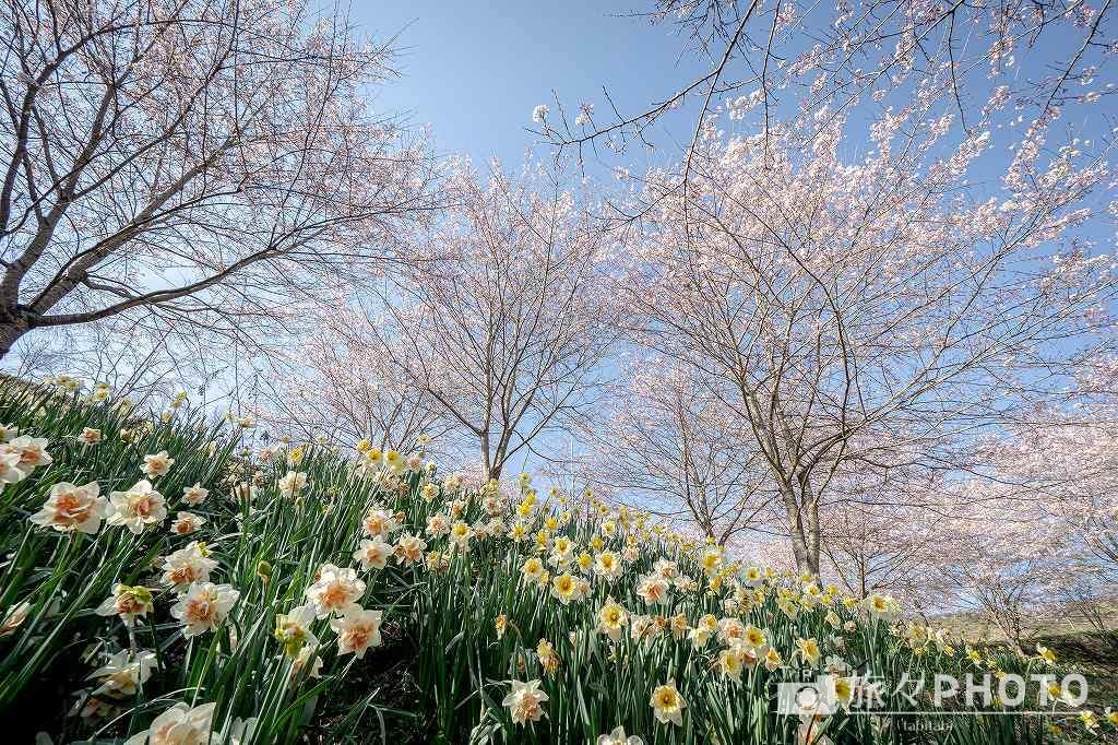 長湯温泉しだれ桜の里 スイセンと桜